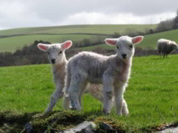 Lambs on Coleridge Way